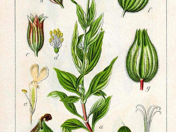 Nightflowering Silene (Silene Noctiflora) http://www.sagebud.com/nightflowering-silene-silene-noctiflora