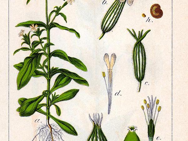 Nightflowering Silene (Silene Noctiflora) http://www.sagebud.com/nightflowering-silene-silene-noctiflora/