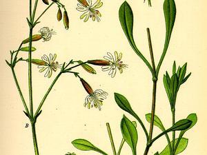 Eurasian Catchfly
