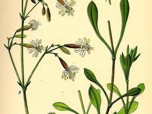 Eurasian Catchfly (Silene Nutans) http://www.sagebud.com/eurasian-catchfly-silene-nutans
