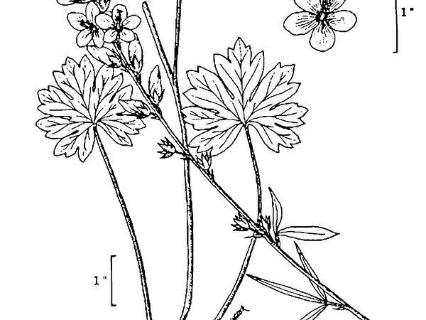 Oregon Checkerbloom (Sidalcea Oregana) http://www.sagebud.com/oregon-checkerbloom-sidalcea-oregana/