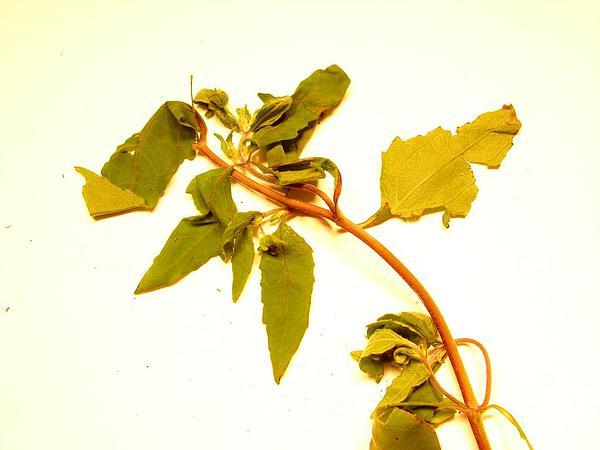 Common St. Paul's Wort (Sigesbeckia Orientalis) http://www.sagebud.com/common-st-pauls-wort-sigesbeckia-orientalis/