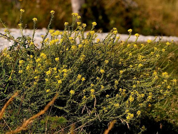 Indian Hedgemustard (Sisymbrium Orientale) http://www.sagebud.com/indian-hedgemustard-sisymbrium-orientale
