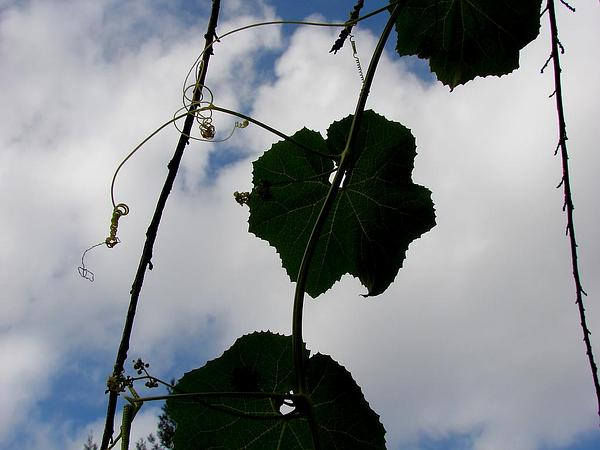 Paha (Sicyos Pachycarpus) http://www.sagebud.com/paha-sicyos-pachycarpus/