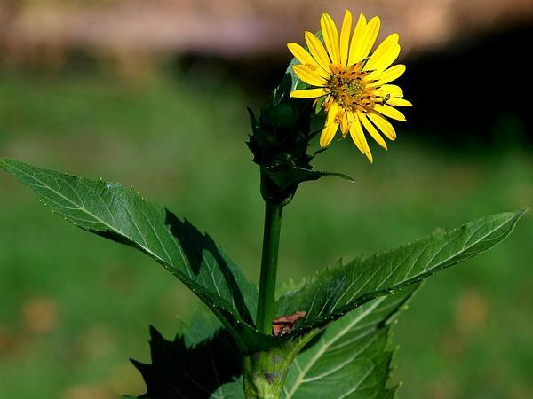 Cup Plant (Silphium Perfoliatum) http://www.sagebud.com/cup-plant-silphium-perfoliatum/
