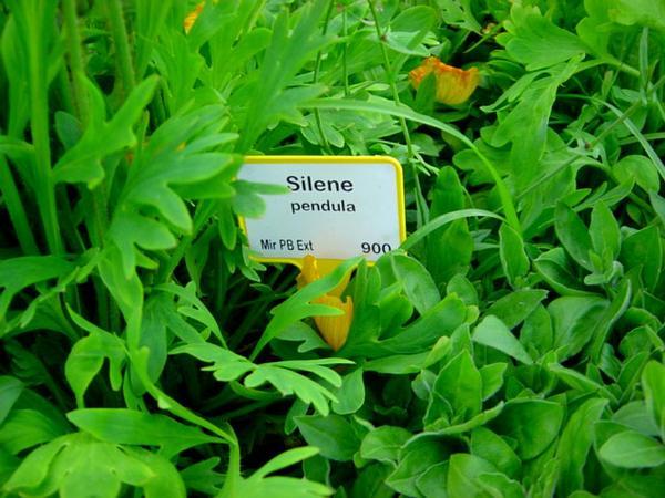 Nodding Catchfly (Silene Pendula) http://www.sagebud.com/nodding-catchfly-silene-pendula