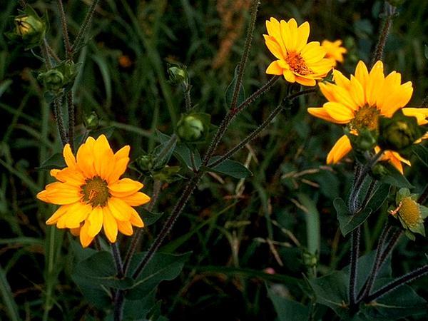 Roughstem Rosinweed (Silphium Radula) http://www.sagebud.com/roughstem-rosinweed-silphium-radula