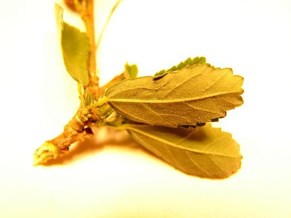 Cuban Jute (Sida Rhombifolia) http://www.sagebud.com/cuban-jute-sida-rhombifolia/