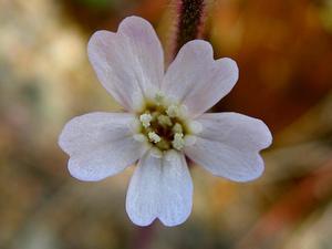 Sorensen's Catchfly
