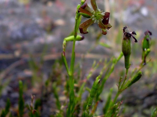 Alpine Catchfly (Silene Struthioloides) http://www.sagebud.com/alpine-catchfly-silene-struthioloides
