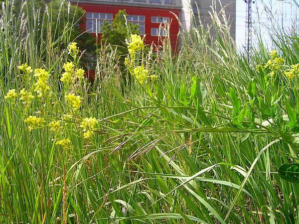 Hedgemustard (Sisymbrium) http://www.sagebud.com/hedgemustard-sisymbrium
