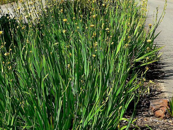 Blue-Eyed Grass (Sisyrinchium) http://www.sagebud.com/blue-eyed-grass-sisyrinchium/