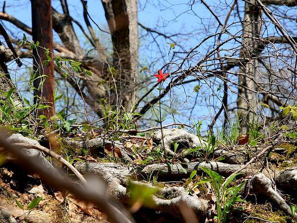 Fire Pink (Silene Virginica) http://www.sagebud.com/fire-pink-silene-virginica