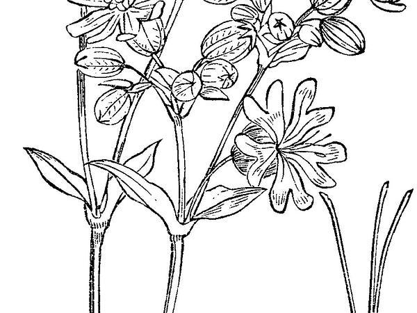 Maidenstears (Silene Vulgaris) http://www.sagebud.com/maidenstears-silene-vulgaris