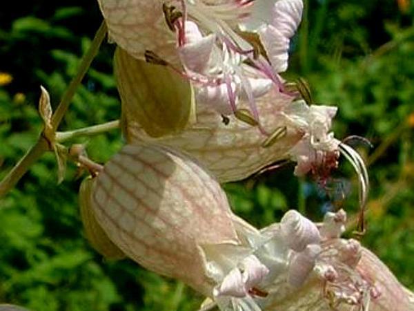 Maidenstears (Silene Vulgaris) http://www.sagebud.com/maidenstears-silene-vulgaris/