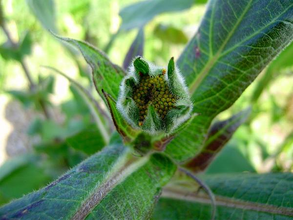 Smallanthus (Smallanthus) http://www.sagebud.com/smallanthus-smallanthus