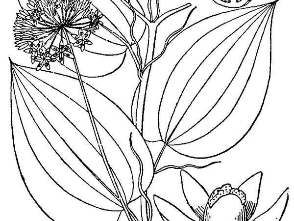 Greenbrier (Smilax) http://www.sagebud.com/greenbrier-smilax/