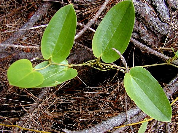 Hawai'I Greenbrier (Smilax Melastomifolia) http://www.sagebud.com/hawaii-greenbrier-smilax-melastomifolia