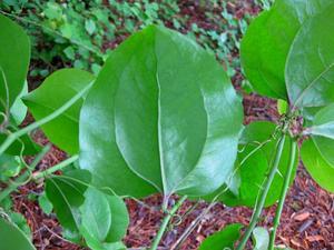 Roundleaf Greenbrier