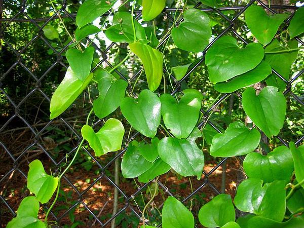 Roundleaf Greenbrier (Smilax Rotundifolia) http://www.sagebud.com/roundleaf-greenbrier-smilax-rotundifolia