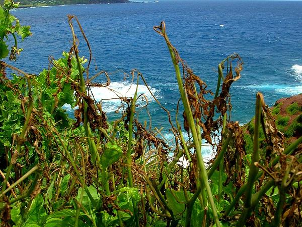 American Black Nightshade (Solanum Americanum) http://www.sagebud.com/american-black-nightshade-solanum-americanum