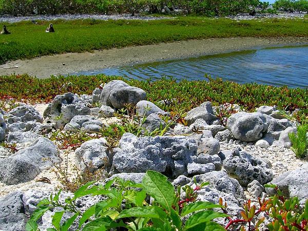 American Black Nightshade (Solanum Americanum) http://www.sagebud.com/american-black-nightshade-solanum-americanum/