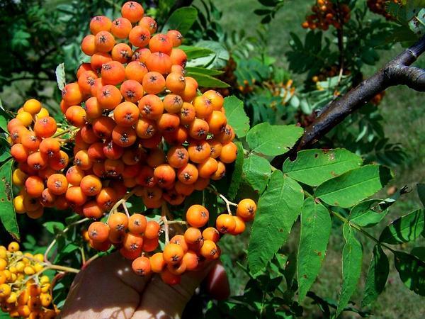 American Mountain Ash (Sorbus Americana) http://www.sagebud.com/american-mountain-ash-sorbus-americana