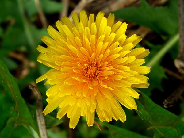 Field Sowthistle (Sonchus Arvensis) http://www.sagebud.com/field-sowthistle-sonchus-arvensis