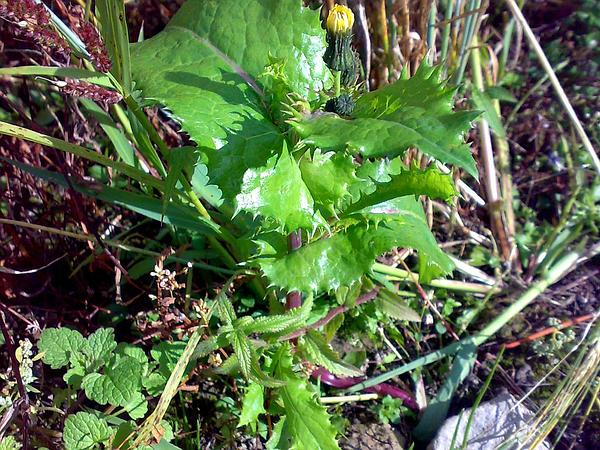 Spiny Sowthistle (Sonchus Asper) http://www.sagebud.com/spiny-sowthistle-sonchus-asper