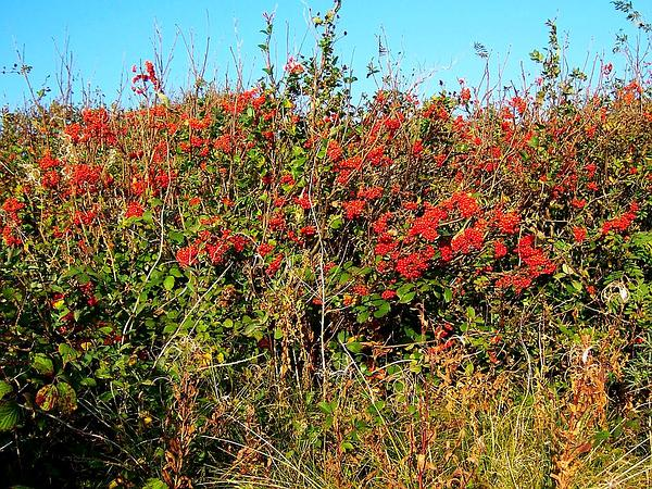 European Mountain Ash (Sorbus Aucuparia) http://www.sagebud.com/european-mountain-ash-sorbus-aucuparia