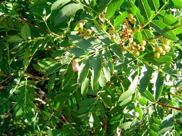European Mountain Ash (Sorbus Aucuparia) http://www.sagebud.com/european-mountain-ash-sorbus-aucuparia/
