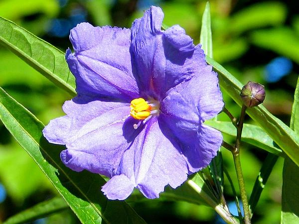 New Zealand Nightshade (Solanum Aviculare) http://www.sagebud.com/new-zealand-nightshade-solanum-aviculare/