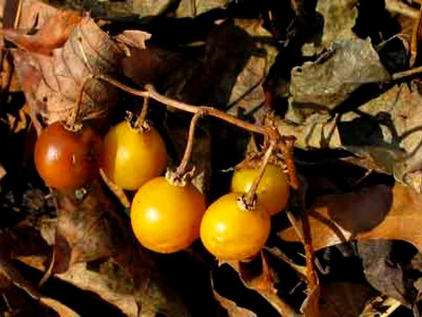 Carolina Horsenettle (Solanum Carolinense) http://www.sagebud.com/carolina-horsenettle-solanum-carolinense