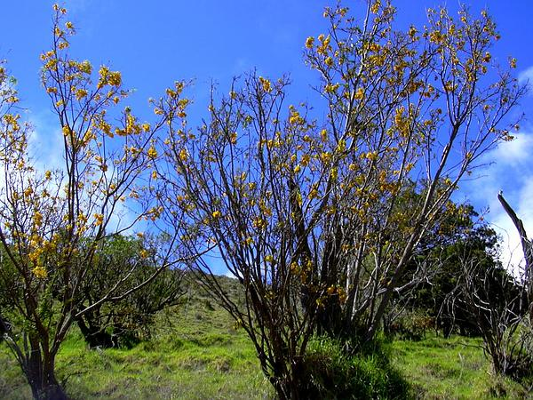 Mamani (Sophora Chrysophylla) http://www.sagebud.com/mamani-sophora-chrysophylla/