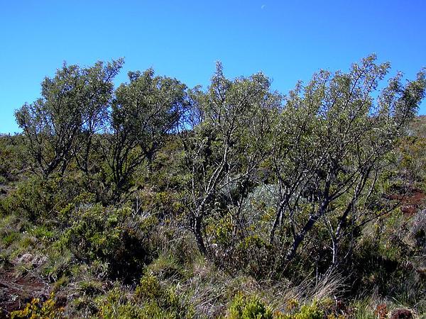 Mamani (Sophora Chrysophylla) http://www.sagebud.com/mamani-sophora-chrysophylla