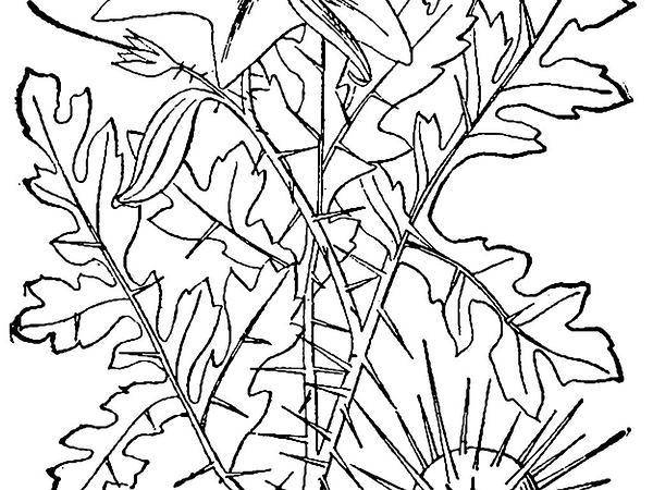 Watermelon Nightshade (Solanum Citrullifolium) http://www.sagebud.com/watermelon-nightshade-solanum-citrullifolium/