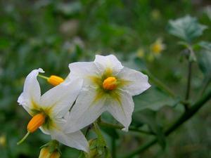 Greenspot Nightshade
