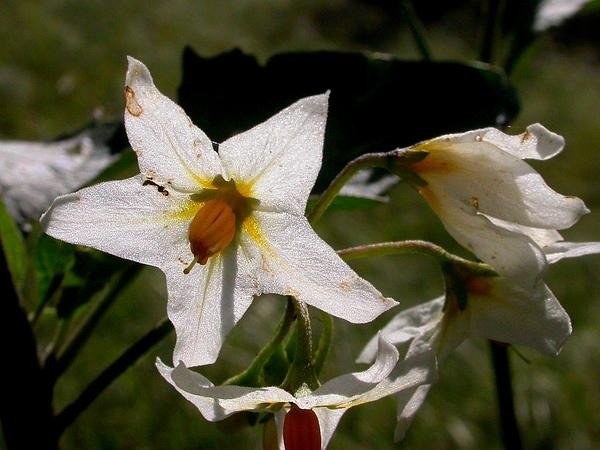Greenspot Nightshade (Solanum Douglasii) http://www.sagebud.com/greenspot-nightshade-solanum-douglasii