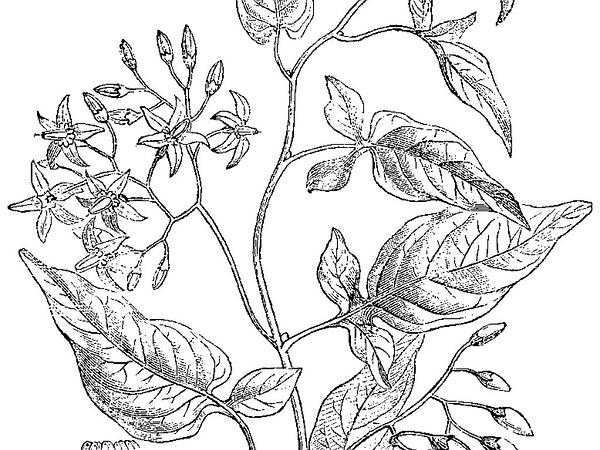 Climbing Nightshade (Solanum Dulcamara) http://www.sagebud.com/climbing-nightshade-solanum-dulcamara
