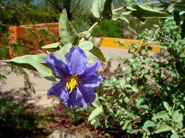 Silverleaf Nightshade (Solanum Elaeagnifolium)