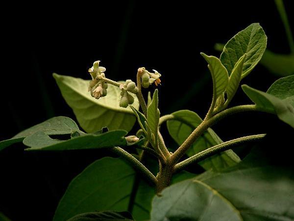 Potatotree (Solanum Erianthum) http://www.sagebud.com/potatotree-solanum-erianthum/