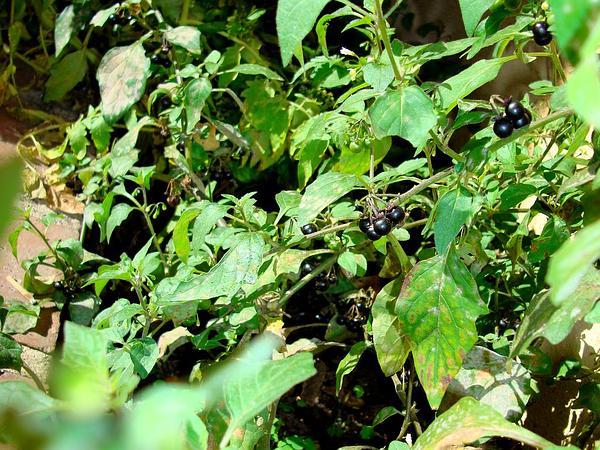 Forked Nightshade (Solanum Furcatum) http://www.sagebud.com/forked-nightshade-solanum-furcatum