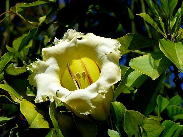 Showy Chalicevine (Solandra Grandiflora) http://www.sagebud.com/showy-chalicevine-solandra-grandiflora