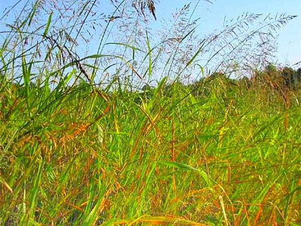 Johnsongrass (Sorghum Halepense) http://www.sagebud.com/johnsongrass-sorghum-halepense/