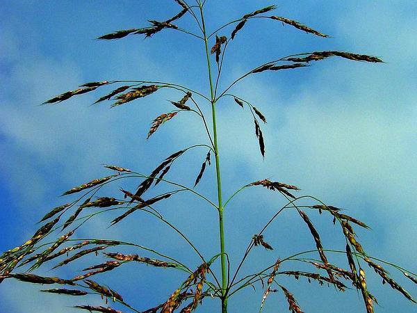 Johnsongrass (Sorghum Halepense) http://www.sagebud.com/johnsongrass-sorghum-halepense