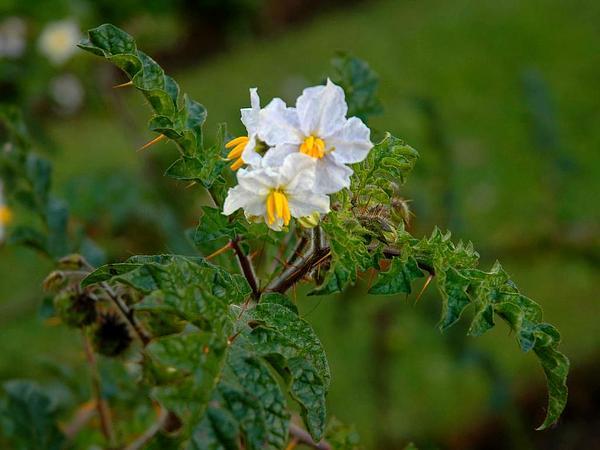 Melonleaf Nightshade (Solanum Heterodoxum) http://www.sagebud.com/melonleaf-nightshade-solanum-heterodoxum