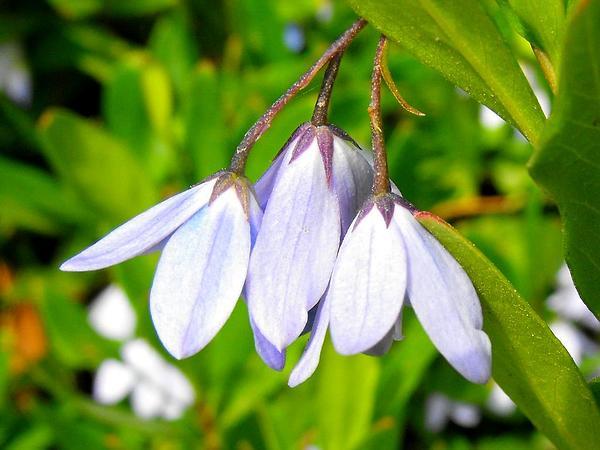 Bluebell Creeper (Sollya Heterophylla) http://www.sagebud.com/bluebell-creeper-sollya-heterophylla