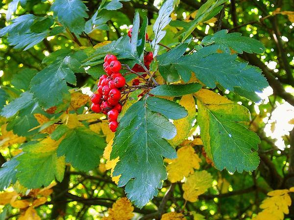 Oakleaf Mountain Ash (Sorbus Hybrida) http://www.sagebud.com/oakleaf-mountain-ash-sorbus-hybrida/