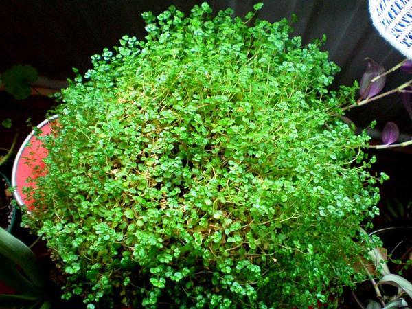 Soleirolia (Soleirolia) http://www.sagebud.com/soleirolia-soleirolia