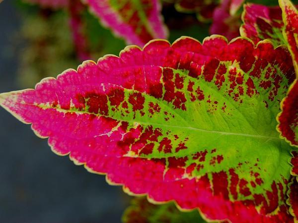 Solenostemon (Solenostemon) http://www.sagebud.com/solenostemon-solenostemon/